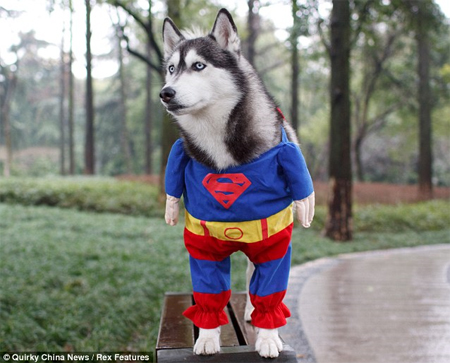 Anjing Superman Unique and Cute, Dog Superman