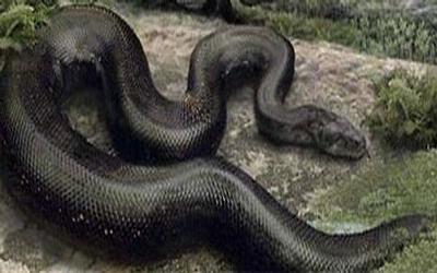 Ular Pemakan Mayat Snake Eaters Body in Pamekasan Not Myths
